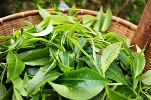 Plucked-Tea-Leaves-in-basket